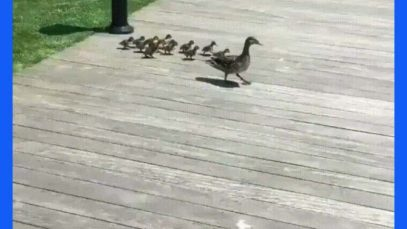 Ducklings jumping one by one into water pond in Southampton, NY