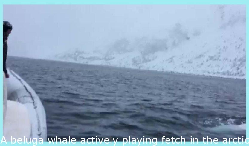 A beluga whale playing fetch in the arctic
