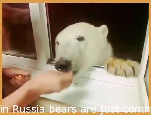 in Russia bears are just regular dogs
