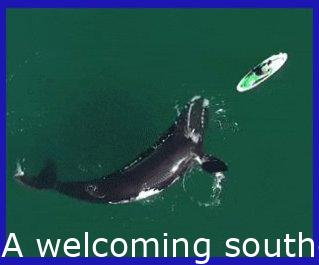 A friendly southern right whale swims right up to and underneath a paddleboarder off the coast of Argentina.