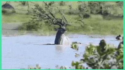 Kudu uses deep water to fight African Wild Dogs.